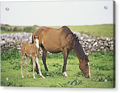 Horse And Foal Grazing In Field Acrylic Print