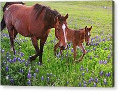 Horse On Bluebonnet Trail Acrylic Print by David Hensley