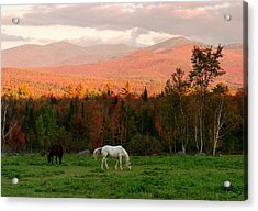 Horses Grazing During The New England Acrylic Print by Myloupe/uig