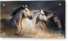 Horses With Long Mane Portrait Run Acrylic Print
