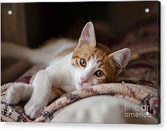 House Cat Red And White Poses For The Acrylic Print
