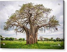 Huge Baobab Tree In The Tarangire Acrylic Print