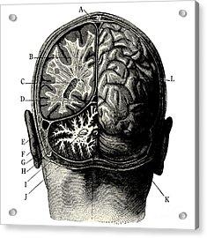 Humain Brain -vintage Engraved Acrylic Print