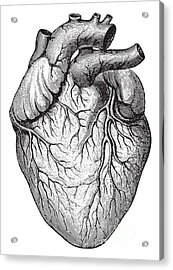 Human Heart  Vintage Illustrations From Acrylic Print