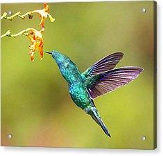 Humhum Bird Acrylic Print