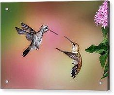 Hummingbird Battle Acrylic Print