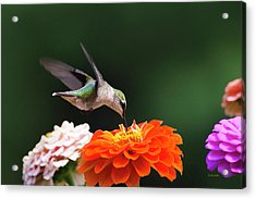Hummingbird In Flight With Orange Zinnia Flower Acrylic Print