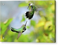 Hummingbirds Ensuing Battle Acrylic Print