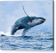 Humpback Whale Megaptera Novaeangliae Acrylic Print by Paul S. Wolf