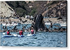 Humpbacks In Avila Harbor Acrylic Print