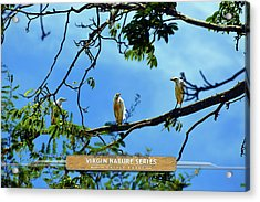 Ibis Perch - Virgin Nature Series Acrylic Print