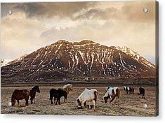 Icelandic Horses In Dramatic Landscape Acrylic Print by Daniel Bosma