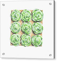 Illustration Of Bed Of Lettuces Acrylic Print by Dorling Kindersley