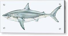 Illustration Of Great White Shark Acrylic Print by Dorling Kindersley