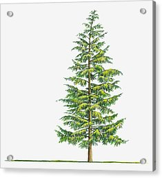 Illustration Of Large Evergreen Tsuga Acrylic Print by Sue Oldfield
