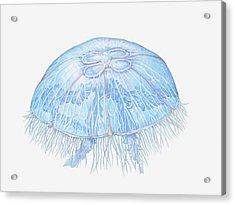 Illustration Of Moon Jellyfish Aurelia Acrylic Print by Dorling Kindersley