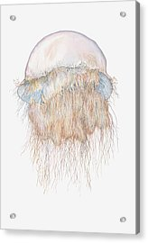 Illustration Of Nomuras Jellyfish Acrylic Print by Dorling Kindersley