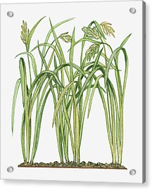Illustration Of Oryza Sativa Asian Rice Acrylic Print by Michelle Ross