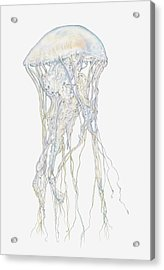 Illustration Of Sand Jellyfish Acrylic Print by Dorling Kindersley