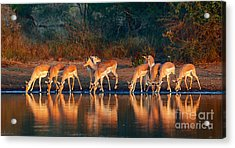 Impala Herd Aepyceros Melampus Drinking Acrylic Print