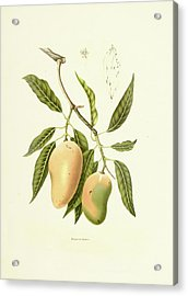 Indian Mango | Antique Plant Acrylic Print
