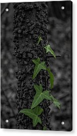Industrious Ivy Acrylic Print