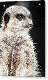 Inquisitive Meerkat On The Lookout Acrylic Print