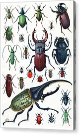 Insects, Beetles And Scarab, Vintage Acrylic Print