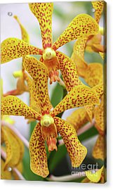 Intriguing Yellow Spider Orchids Acrylic Print