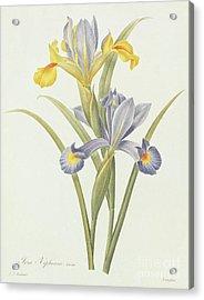 Iris By Redoute Acrylic Print