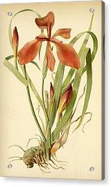 Iris Cuprea Copper Iris.  Acrylic Print