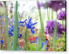 Acrylic Print featuring the photograph Iris Hollandica 'professor Blaauw' On Display by Tim Gainey