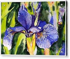Iris In Bloom Acrylic Print