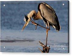 Itchy - Great Blue Heron Acrylic Print