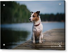 Jack Russell Terrier Dog Playing In Acrylic Print