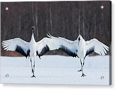Japanese Cranes Standing Upright Acrylic Print by Mint Images - Art Wolfe