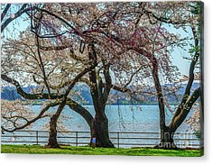 Japanese Flowering Cherry Trees Acrylic Print