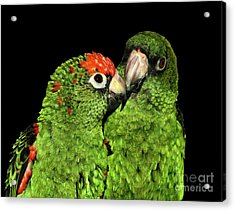 Acrylic Print featuring the photograph Jardine's Parrots by Debbie Stahre
