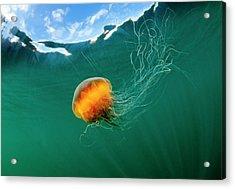 Jellyfish, Alaska Acrylic Print by Paul Souders