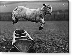 Jumping Lamb Acrylic Print by Fox Photos