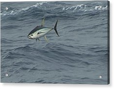 Jumping Yellowfin Tuna Acrylic Print