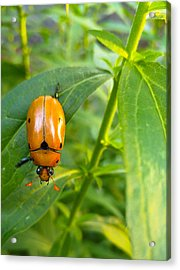 June Bug Acrylic Print