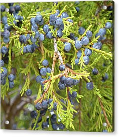 Juniper Berries Acrylic Print