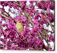 King Of The Redbud - Golden-crowned Sparrow Acrylic Print