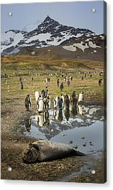 King Penguin Rookery Acrylic Print by Tom Norring