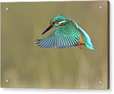 Kingfisher Acrylic Print by Mark Hughes