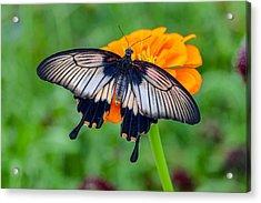 Kite Swallowtail  Acrylic Print