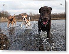 Labrador Retriever And Friends Having Acrylic Print