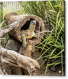 Lace Monitor During The Day. Acrylic Print