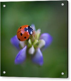 Acrylic Print featuring the photograph Lady Bug by John Rodrigues